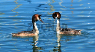 Couple of two great crested grebe in front of each other and floating on blue water of lake of Geneva