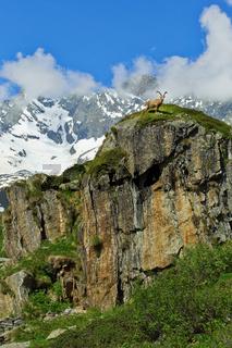 Steinbock in den Alpen auf einem Felsen