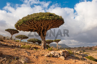 Dragon trees at Homhil plateau, Socotra, Yemen