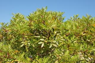 Pistacia lentiscus, Mastixstrauch, masitc