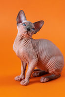 Cute female kitten of color blue mink and white sitting in artistic pose on orange background