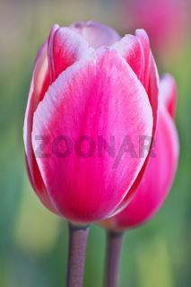Rosa Tulpen