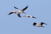Gruppe fliegender Graukraniche