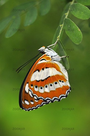 Tropical butterfly Common Sailor