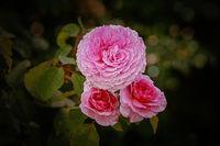Rose flower against green