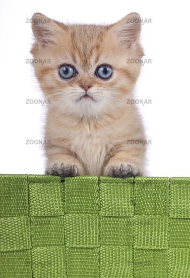 Exotic shorthair kitten on white