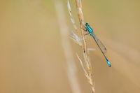 dragonfly latycnemididae white-legged damselflie