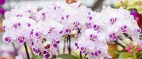 Closeup of pink and purple moth orchid