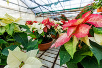 Greenhouse filled with red poinsettia plants in pots, standing in rows.