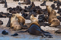 sea lion colony in patagonia austral marine reserve, argentina