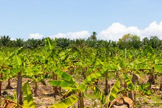 Costa Rica, banana and coconut plantation