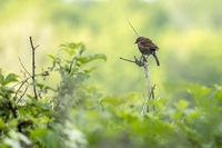 Hedge Accentor (Dunnock) perching on a dead stem near East Grinstead