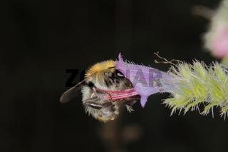 Ackerhummel / Common Carder-bee