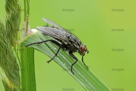 Flesh fly (Sarcophagidae)