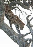 Leopard Climbing Down Tree, Maasai Mara, Africa