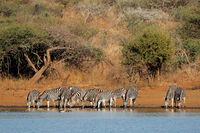 Herd of plains zebras (Equus burchelli) drinking water