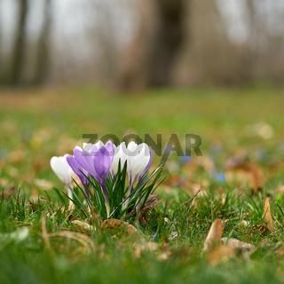 Blühende Krokusse auf einer Wiese im Herrenkrugpark in Magdeburg im Frühling