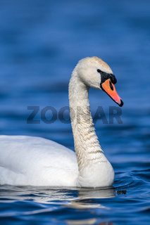 Swan on a clear deep blue river reflection