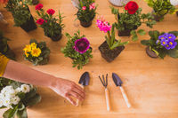 The woman plants a beautiful flowers in small pots