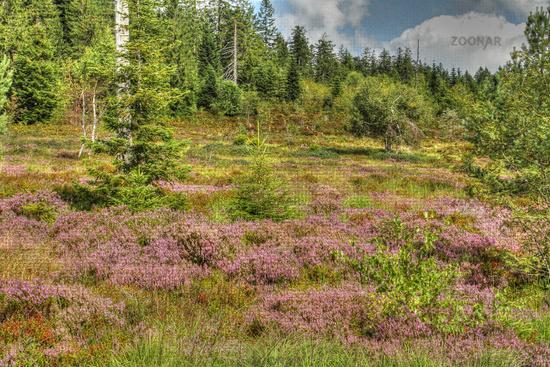 Flowering moorland herb in the Black Forest