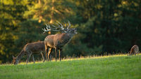 Red deer stag roaring on grassland in sunny rutting season