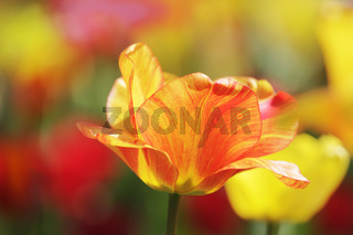 gelb-rote tulpe in nahaufnahme