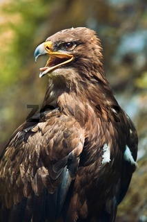 Close up of the head of a beautiful eagle