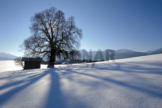Baum im Gegenlicht im Schnee