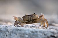Indian ground crab, Cardisoma carnifex, Satara, Maharashtra, India