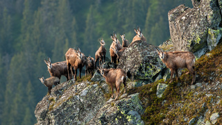 Group of tatra chamois climbing on rocks in summer