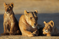 A lioness with cubs (Panthera leo) in early morning light