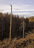 Forest dieback, Eggegebirge, near Velmerstot, Horn-Bad Meinberg, Germany, Europe