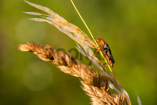 Gemeiner Weichkäfer, soldier beetle, (Cantharis fusca)