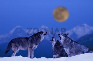 Heulende Wölfe, Wolfsrudel im Winter (M)