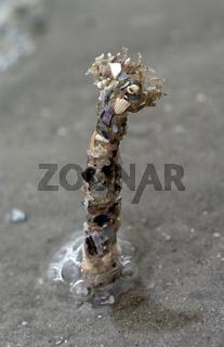 Bäumchenröhrenwurm
