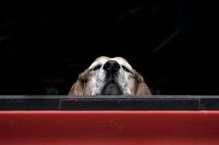 Cute dog looks over truck bed.