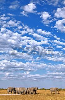 Wolkenhimmel über einer Elefantenherde, Etosha-Nationalpark, Namibia, (Loxodonta africana) | clouds over a herd of elephants, Etosha National Park, Namibia, (Loxodonta africana)