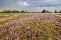 Lüneburg Heath