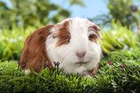 little swiss teddy guinea pig in a meadow