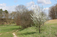 Small flowering plum tree at a field path in Brodowin