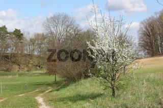 Kleiner blühender Pflaumenbaum an einem Feldweg in Brodowin
