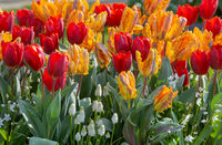 Beautiful multicolored tulips and white flowers on spring flowerbed.