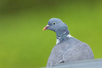 Only a portrait photo shows the colourful plumage of the Common Wood Pigeon