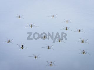 Group of water striders on a lake