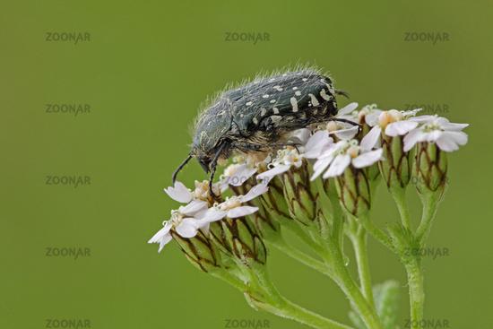 White-spotted rose beetle (Oxythyrea funesta)