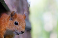 The muzzle of a little squirrel on a background of greenery.
