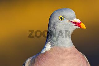 Wood Pigeon, Mediterranean Forest, Spain