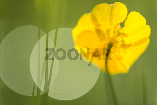 Kriechender Hahnenfuss, Ranunculus repens (englisch: Creeping Buttecup, Creeping Crowfoot), Lappland