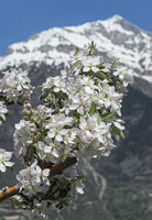 Blooming branch of an apple tree, Fully, Valais, Switzerland