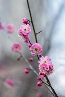 red plum flower in full bloom
